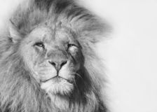 Black and white portrait of a male lion. Closeup black and white portrait of a male african lion royalty free stock photo