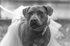 Dolly the Pit Bull. A black and white portrait of miss Dolly looking cute as can be in her tutu skirt with her matching polka dot bow tie Royalty Free Stock Image