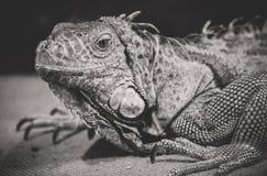 Iguana. Black and white portrait of orange iguana Stock Photo