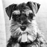Black and white portrait picture of young miniature schnauzer dog looking at camera. Young miniature schnauzer dog looking at camera, black and white pet stock photos
