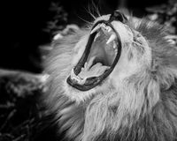 Black and white Portrait of  a roaring lion. Black and white Portrait of  a wild roaring lion Stock Images