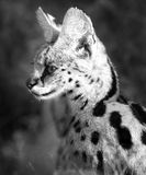 A black & white portrait of a Serval Cat royalty free stock photography