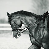 Black-and-white portrait of a sports horse. Stock Images