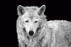 Black and white portrait of a wild forest wolf. With textured gray wool on a black background close-up stock images
