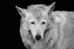 Black and white portrait of a wild forest wolf with yellow eyes royalty free stock photo