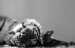 Black and white of a powerful tiger and small cat friend enjoying a catnap together. Two of the world`s smallest and biggest cats snuggling together for an Royalty Free Stock Photo