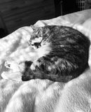 Black and White | Pretty Junior Tabby Girl Cat. Pretty Junior Tabby Cat Girl relaxing on her bed, looks stunning in Black and White stock photos