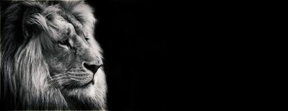 Black and white proposal lion. With black background. Portrait face lion for example web stock photo