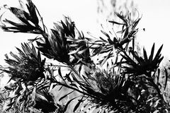 Black and white of proteas been burned Royalty Free Stock Images