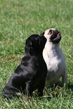 Black and white pug Royalty Free Stock Image