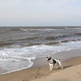 Black and white pug dog on beach near sea Royalty Free Stock Photography