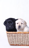 Black & White Puppies. Two dogs, one black and one white, cuddle close together in a large, wicker basket to have their picture taken Stock Images