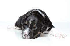 Black and white puppy Royalty Free Stock Image
