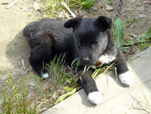 It is black a white puppy on a chain. Royalty Free Stock Image