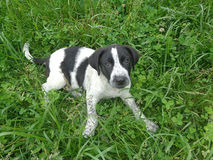 Black and white puppy among clover leaves and green grass Royalty Free Stock Image