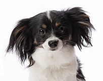 Puppy Portrait. Black and white puppy curiously staring into the camera stock photos