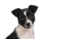 Black and white puppy dog Royalty Free Stock Photography