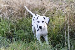 Black and white puppy dog, playing in the field. royalty free stock photo