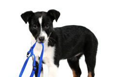 Black and white puppy dog. Playing with harness in its mouth Stock Images