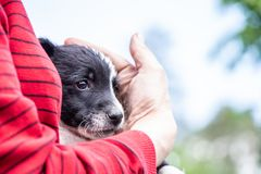 Black and white puppy in the hands of a woman