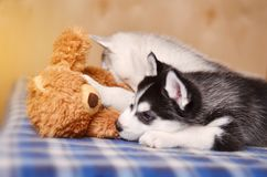 Black and white puppy husky playing with toy touching teddy-bear with paw royalty free stock photo