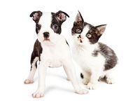 Black and White Puppy and Kitten Together Royalty Free Stock Photo