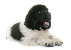 Black and white puppy newfoundland dog royalty free stock photos