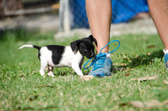 Black and white puppy playing . Stock Photo