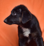Black and white puppy Stock Image