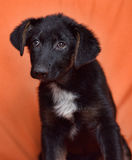 Black and white puppy Stock Images