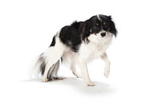 Timid Puppy. Black and white puppy shyly walking on a white background royalty free stock photo