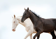 Black and white pureblood horses Stock Photography