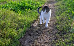 Pussycat with black face. Black and white  pussycat in her afternoon promenade. She is on the path surrounded by fresh green grass royalty free stock photo