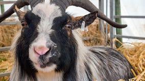 Black and white Pygmy Goat Stock Photos