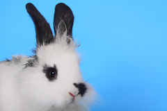 Black and white rabbit agains the blue background Stock Photo