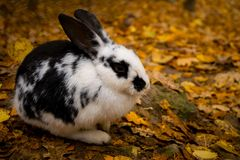 Black and white rabbit in autumn leaves stock image