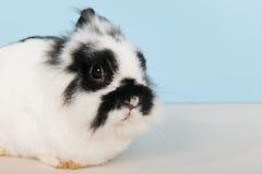 Black and white rabbit Royalty Free Stock Photo