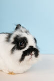 Black and white rabbit Stock Images