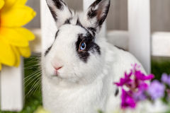Black and white rabbit in the garden closeup. Black and white rabbit in the garden with flowers, closeup royalty free stock photos