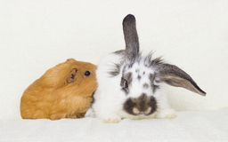Black and white rabbit and a golden guinea pig Royalty Free Stock Image