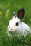 Black and white rabbit in the grass Stock Photo