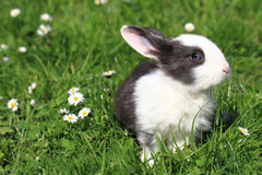 Black and white rabbit in the grass Royalty Free Stock Images
