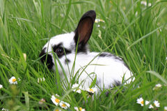 Black and white rabbit in the grass Stock Photos