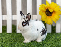 Black and white rabbit on grass near the fence. Black and white rabbit on the grass near the fence with flowers stock image