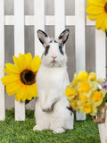 Black and white rabbit on grass near the fence. Black and white rabbit on the grass near the fence with flowers stock photo