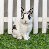 Black and white rabbit on grass near the fence. Black and white rabbit on the grass near the fence and looking at the camera royalty free stock images