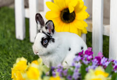 Black and white rabbit on grass near the fence. Black and white rabbit sitting on the grass in the garden with flowers stock image