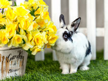 Black and white rabbit on grass near the fence. Black and white rabbit sitting on the grass in the garden and smelling the yellow flowers of the iris royalty free stock images