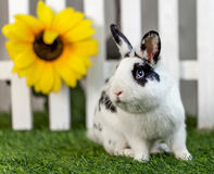 Black and white rabbit on grass near the fence. Black and white rabbit on the grass near the fence with sunflowers royalty free stock image