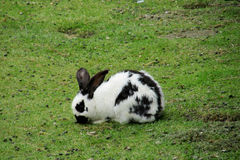 Black and white rabbit on the green grass Royalty Free Stock Images